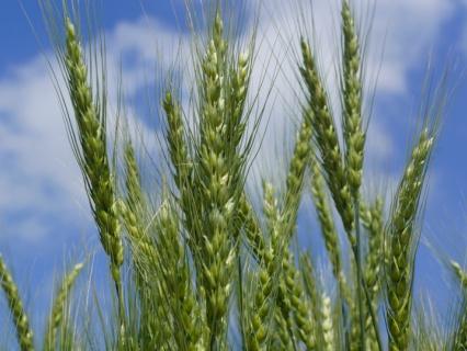 Сорт пшеницы московская 56